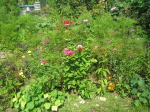 Растения сидераты - цинния и космея Фото