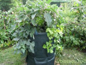 Выращивание батата в бочке