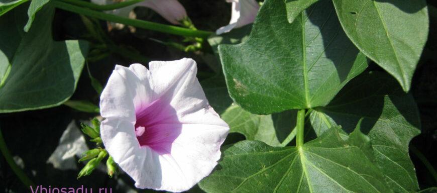 На фото распустившийся цветок батата