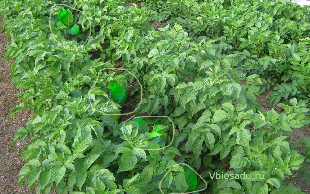 Грядка с картофелем и рассадой капусты