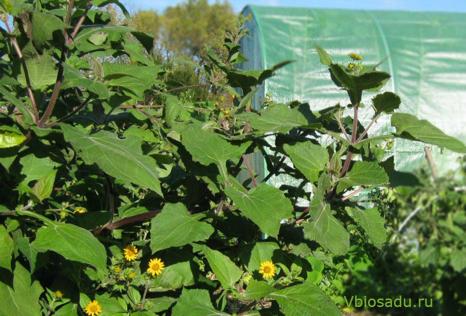 Фото растения якона