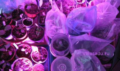Сеянцы арбуза Фото
