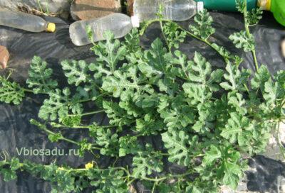 Молодое растение арбуза Фото
