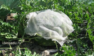 Защита арбуза от спекания на солнце Фото