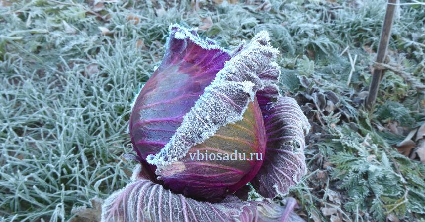 Зимняя капуста Фото