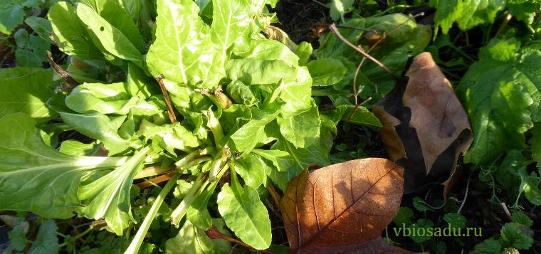Мангольд на зимнем огороде Фото
