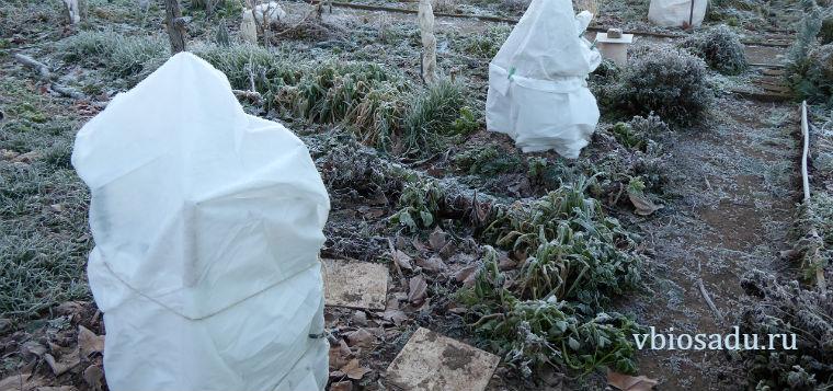 Укрытие инжира на зиму. Фото.