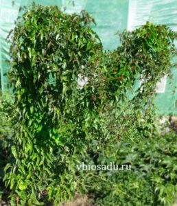 Растение ямс Фото