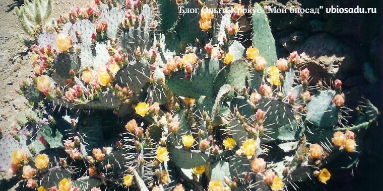 Растения Канарских островов Опунция Фото