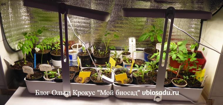 Выращивание рассады кивано