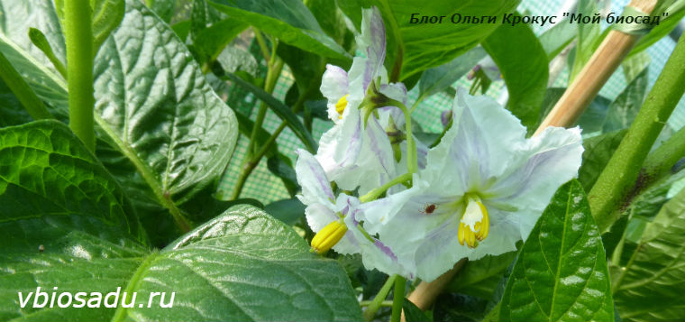 Выращивание пепино из семян в домашних условиях