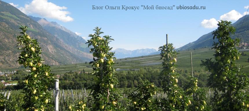 Колонновидные яблони в Италии Фото