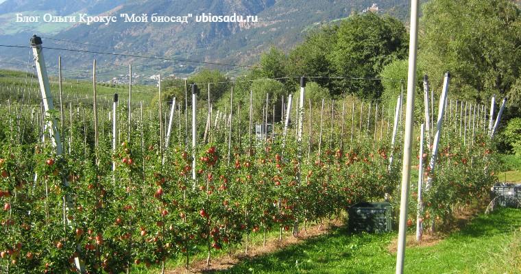 Колонновидные яблони в Италии, фото