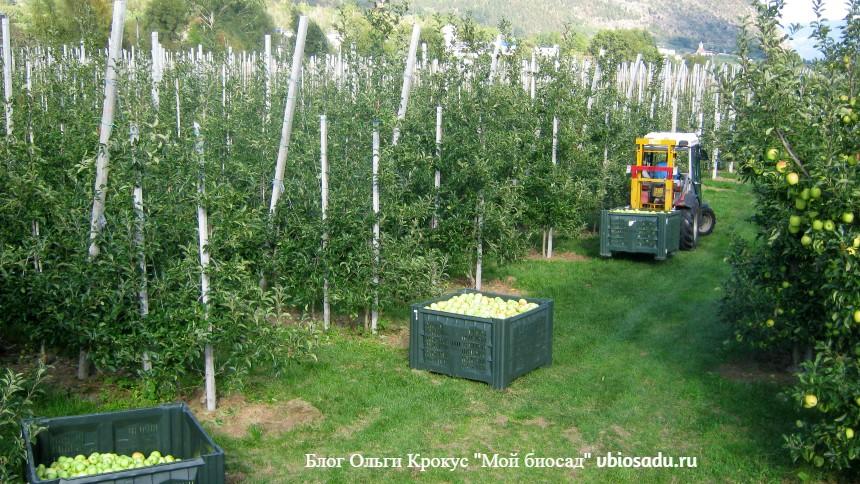 Сбор яблок в Италии Фото
