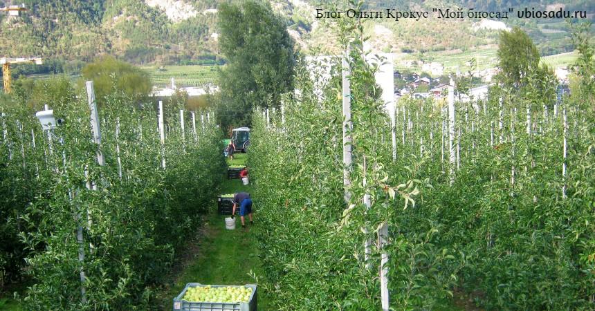 Уборка урожая яблок в Италии Фото