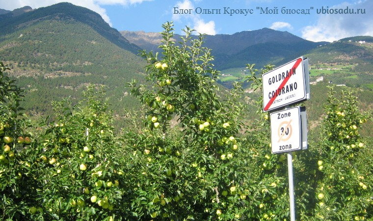 Ряды колонновидных яблонь в Италии. Фото.