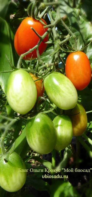 Посев помидор под зиму
