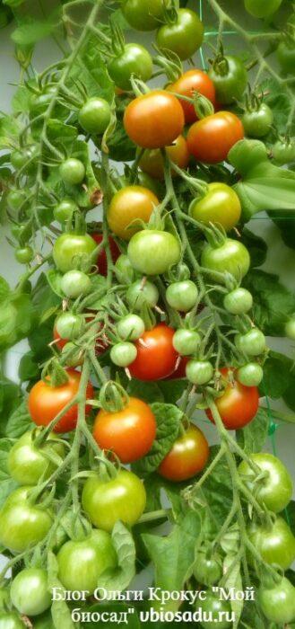 Плодоносящие подзимние помидоры