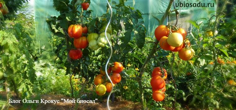 Куст подзимних помидоров